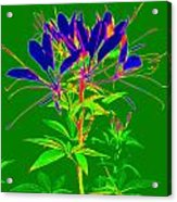 Cleome Gone Abstract Acrylic Print