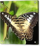 Clipper Butterfly Acrylic Print
