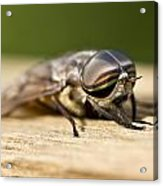 Close Encounter With A Horsefly Acrylic Print by Dean Bennett