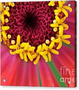 Close Up Dahlia Acrylic Print