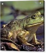 Close-up Of A Bullfrog Acrylic Print