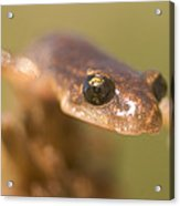Close Up Of A California Newt Standing Acrylic Print