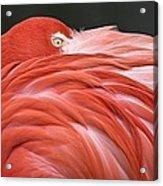Close Up Of A Flamingo Resting Its Head Acrylic Print