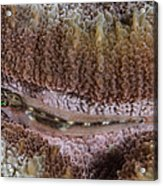 Close-up Of A Goby, Indonesia Acrylic Print
