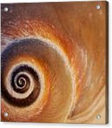 Close Up Of A Moon Snail Shell Showing Acrylic Print