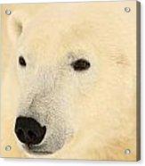 Close Up Of A Polar Bear, Churchill Acrylic Print
