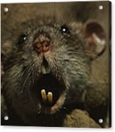 Close Up Of A Rats Fast-growing Teeth Acrylic Print