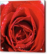Close-up Of A Red Rose Acrylic Print