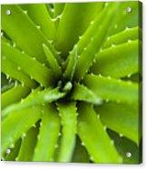 Close-up Of Aloe Plant, Atlantic Forest, Ilha Do Mel, Parana, Brazil Acrylic Print by Chris Hendrickson