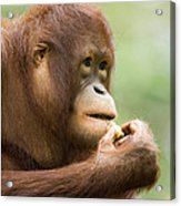 Close-up Of An Orangutan Pongo Pygmaeus Acrylic Print