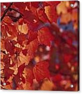 Close-up Of Autumn Leaves Acrylic Print
