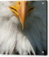 Close Up Of Bald Eagle Acrylic Print