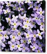 Close-up Of Bluet Flowers Houstonia Acrylic Print