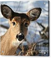 Close Up Of Deer In A Snowy Wooded Setting Acrylic Print by Christopher Purcell