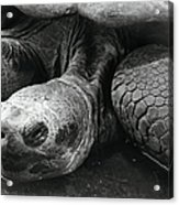 Close-up Of Galapagos Giant Tortoise Acrylic Print