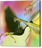 Close-up Of Praying Mantis Acrylic Print