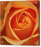 Close Up Of Rose Acrylic Print