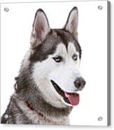Close-up Of Siberian Husky Acrylic Print