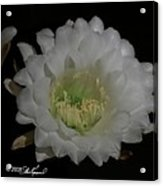 Close Up Of The 24 Hour Cactus Flower Acrylic Print
