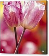 Close-up Of Tulips Acrylic Print