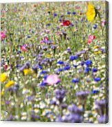 Close Up Of Vibrant Wildflowers In Sunny Field Acrylic Print