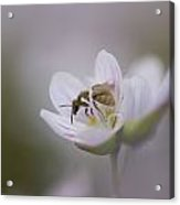 Close-up Of Wasp Pollinating Eastern Acrylic Print