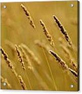 Close-up Of Wheat Acrylic Print