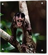 Close View Of A Baby Macaque Acrylic Print