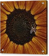 Close View Of A Bee On A Sunflower Acrylic Print