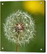 Close View Of A Dandelion Gone To Seed Acrylic Print