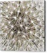 Close View Of A Dandelion Seed Head Acrylic Print