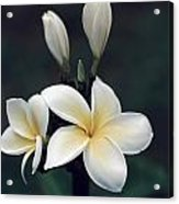 Close View Of A Delicated Plumeria Acrylic Print