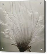 Close View Of A Feathery Seed Pod Acrylic Print