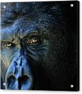 Close View Of A Gorilla Gorilla Gorilla Acrylic Print
