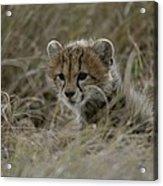 Close View Of A Juvenile Cheetah Acrylic Print