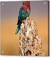 Close View Of A Lilac-breasted Roller Acrylic Print