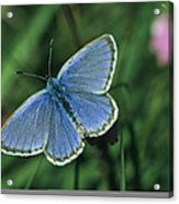 Close View Of A Maculinea Alcon Acrylic Print