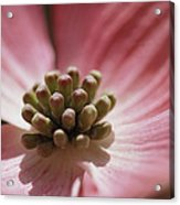Close View Of A Pink Dogwood Blossom Acrylic Print