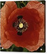 Close View Of A Poppy Acrylic Print