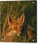 Close View Of A Red Fox At Rest Acrylic Print
