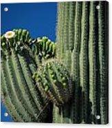 Close View Of A Saguaro Cactus Saguaro Acrylic Print