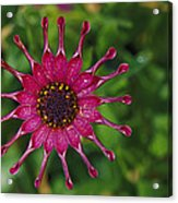 Close View Of A South African Daisy Acrylic Print