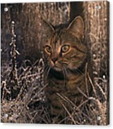 Close View Of A Tabby Cat Acrylic Print