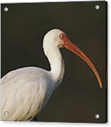 Close View Of A White Ibis Acrylic Print