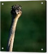 Close View Of An Ostrich Struthio Acrylic Print