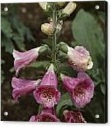 Close View Of Blooming Foxglove Acrylic Print by Sam Abell