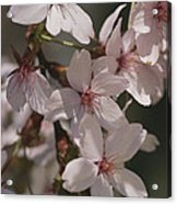 Close View Of Cherry Blossoms Acrylic Print