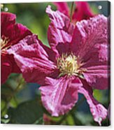 Close View Of Clematis Flowers Acrylic Print