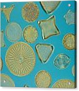 Close View Of Diatoms Acrylic Print