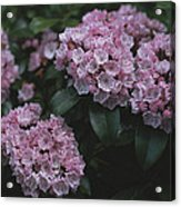 Close View Of Flowering Mountain Laurel Acrylic Print